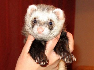 Ferret held in a hand