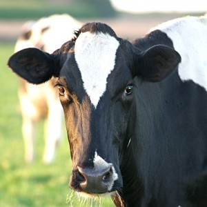 Head of a cattle